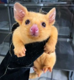 Yes, This Cute Little Possum Mutant Looks Just Like A Pikachu