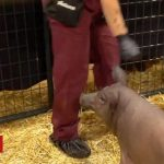 Neuralink: Elon Musk unveils pig with chip in its brain